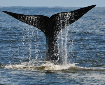 Watch the Whales in Hermanus!